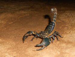 Giant forest scorpion.jpg