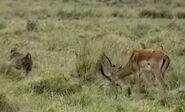 HugoSafari - Baboon&Impala01