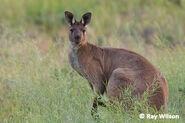 Kangaroo, Western Grey