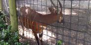 Naples Zoo Bongo