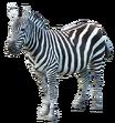NatureRules1 Grant's Zebra