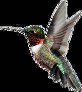 NatureRules1 Hummingbird