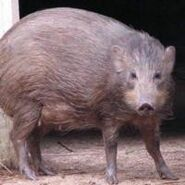 Pygmy hog (Porcula salvania)