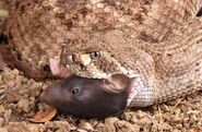 Rattlesnakes and Rodents