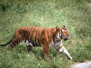 South China Tiger 8.10.2012 Hero and Circle HI 7697