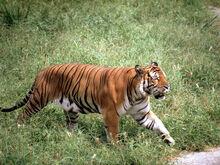 South China Tiger 8.10.2012 Hero and Circle HI 7697.jpg