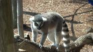 Toronto Zoo Lemur