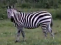 Wilstem Ranch Zebra