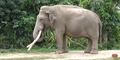 Zoo Miami Indian Elephant