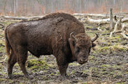 Bison bonasus (Linnaeus 1758)