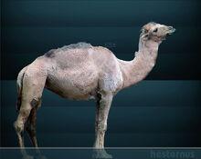Camelus hesternus Sergiodlarosa.jpg