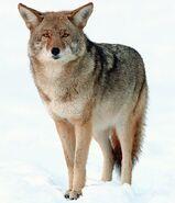 Coyote (Animals)