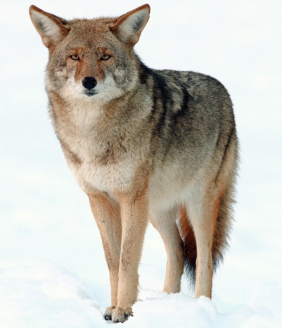 Coyote (Home on the Range)