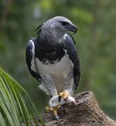 Eagle, Harpy
