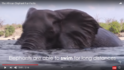 Elephants Can Swim for Very Long Distances