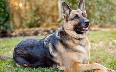 German-shepherd-dog0image.jpg