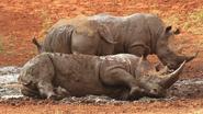 How Elephants Giraffes Okapis Hippos Rhinos and Buffalos Keep Cool In the Wild