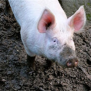Large white pig in wallow