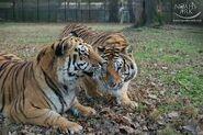 Noah's Ark Tigers
