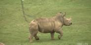 North Carolina Zoo Rhino