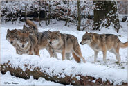 Northwestern wolf pack