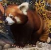 Panda, Red (Planet Zoo)