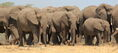 Parade of African Bush Elephants