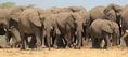 Parade of African Bush Elephants
