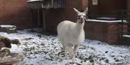 Pittsburgh Zoo Llama