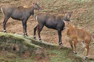 San Diego Zoo Safari Park Nilgais