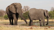 South African Bush Elephant Bull and Cow