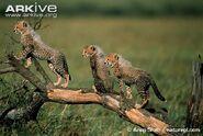 Cheetah-cubs-playing
