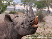 Eastern-black-rhinoceros-four-years-old