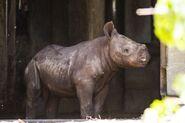 Eastern black rhinoceros calf