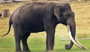 Elephant, Mainland Asian.png
