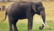 Elephant, Mainland Asian
