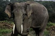 Elephant, Sumatran