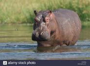 Hippopotanus amphibius amphibius