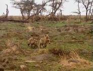 HugoSafari - Hyena13