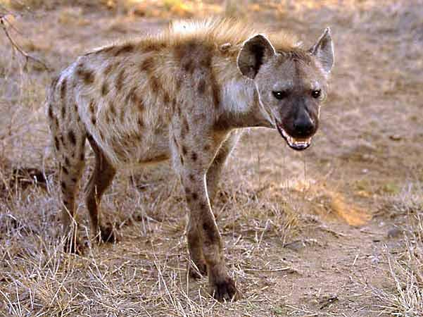 Southern Spotted Hyena