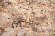Male and Female Siberian Ibexes