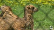 Minnesota Zoo Camel