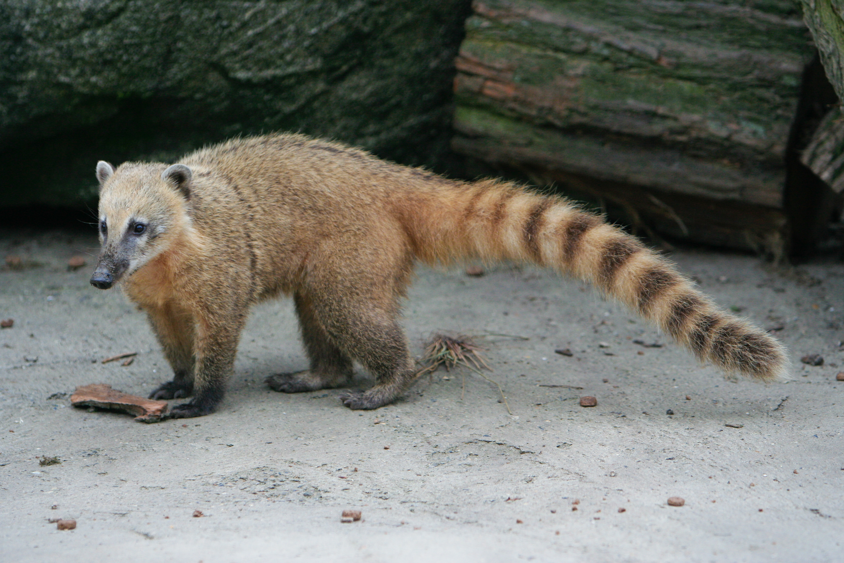 Ring-Tailed Coati