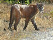 Panther, Florida.jpg