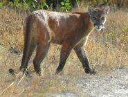 Panther, Florida