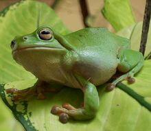 Treefrog katherine nt.jpg