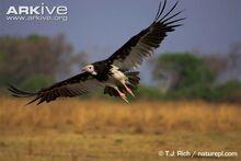 White-headed-vulture-flying.jpg