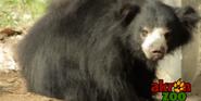 Akron Zoo Sloth Bear