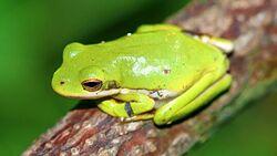 American Green Tree Frog.jpg