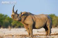 Black-rhinoceros-flehmen-response
